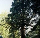 Copac Protejat