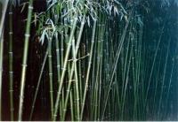 Bambusi la Nikita